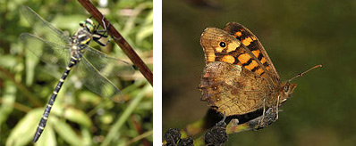 Sticklepath Nature - Golden Ring Dragonfly & Speckled Wood