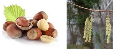 Sticklepath Nature - Hazelnuts & Hazel Catkins