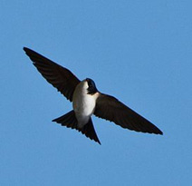 Sticklepath Nature - House Martin