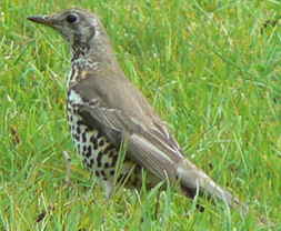 Sticklepath Nature - Mistle Thrush
